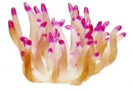 Coral Atlantic Anemone Small